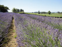 Lavender  Fields at New Zealand 3 Stock Images