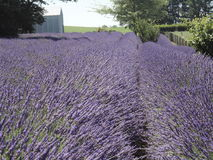 Lavender  Fields at New Zealand 2 Royalty Free Stock Photo