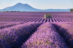 Lavender fields in Plateau de Valensole in summer. Alpes de Haute Provence, France. Lavender fields in Plateau de Valensole with a stone house in Summer. Alpes Stock Photos