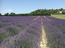 Lavender fields, plateau of Valensole, Provence, France Stock Photos