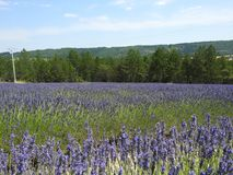 Lavender Fields in Provence. A beautiful day enjoying and roaming lavender fields in Provence, France Stock Image