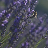 Lavender fields, Provence Royalty Free Stock Images