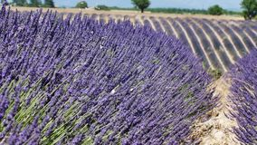 Lavender fields of Provence, close-up view. Lavender Fields of Provence, France, close-up view of Valensole Plateau stock footage
