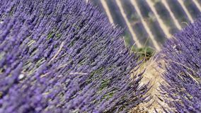 Lavender fields of Provence, close-up view. Lavender Fields of Provence, France, close-up view of Valensole Plateau stock video