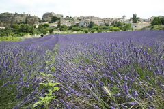 Lavender fields provence countryside france Royalty Free Stock Photography
