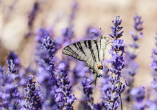 Lavender fields in Provence. Lavender fields and flowers in Provence Stock Image