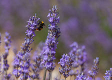 Lavender fields in Provence. Lavender fields and flowers in Provence Royalty Free Stock Image