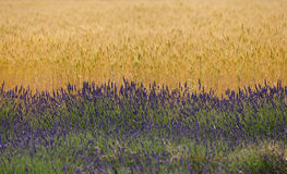Lavender fields in Provence. Lavender fields and flowers in Provence Stock Images