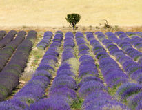 Lavender fields in Provence. Lavender fields and flowers in Provence Stock Photography