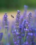 Lavender fields in Provence Stock Images
