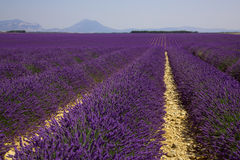 Lavender fields in Provence Royalty Free Stock Photography