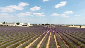 Lavender fields seen from drone stock video footage