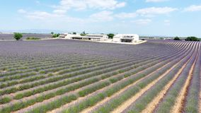 Lavender fields seen from drone stock video
