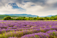 Lavender fields in Provence, France Stock Photo