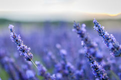 Lavender fields in Provence, France. Stock Photos
