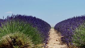 Lavender fields of Provence. France, close-up view of Valensole Plateau stock video