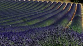 Lavender fields of Provence. France, close-up view of Valensole Plateau stock video footage