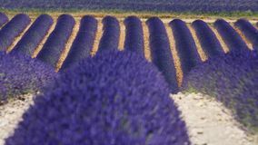 Lavender fields of Provence, close-up view. Lavender Fields of Provence, France, close-up view of Valensole Plateau stock video footage