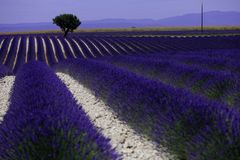 Rows of lavender in France, beautiful landscape Stock Photos