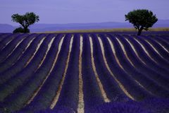 Rows of lavender in France, beautiful landscape Royalty Free Stock Images