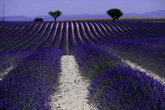 Rows of lavender in France, beautiful landscape Royalty Free Stock Image