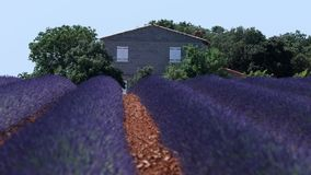 Lavender fields. Of Provence, France. Drone view of Valensole Plateau, farmhouse stock footage