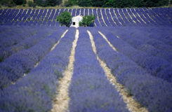 Lavender fields provence france europe. Lavender fields and house in Provence france europe Royalty Free Stock Photos