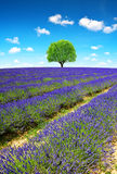 Lavender fields in Provence Stock Photos