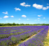 Lavender fields in Provence Stock Photography