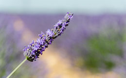 Lavender fields in Provence, France Stock Photography