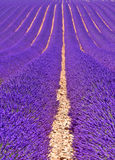 Lavender fields in Provence, France Stock Images