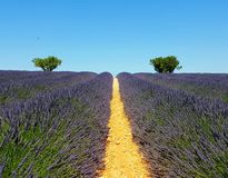 Lavender fields in Provence, France, with olive trees in the background. Lavender fields in Valensole, Provence, France. Sunny weather, July Stock Photography
