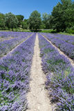 Lavender Fields Provence France Royalty Free Stock Photo