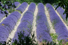 Lavender Fields Provence France Royalty Free Stock Images