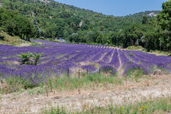 Lavender Fields Provence France Stock Photo