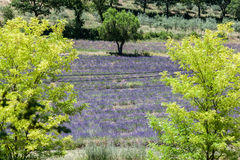 Lavender Fields Provence France Royalty Free Stock Photography