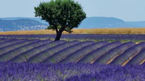 Lavender fields and a green tree. Lavender Fields of Provence, France, with a tree in the middle of Valensole Plateau stock video