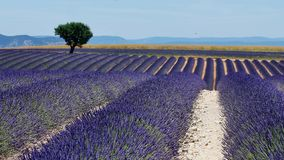 Lavender fields and a green tree. Lavender Fields of Provence, France, with a tree in the middle of Valensole Plateau stock video footage