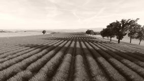 Trees in the middle of huge lavender field, France. Lavender Fields of Provence, France, Valensole Plateau stock footage