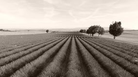 Trees in the middle of huge lavender field, France. Lavender Fields of Provence, France, Valensole Plateau stock video footage