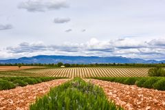 Lavender fields of Provence in June stock photo