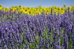 Lavender fields Stock Photo
