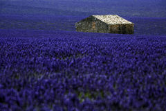 Lavender fields. In Provence land Stock Photo