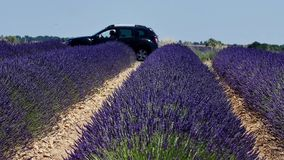 Lavender fields of Provence. France, close-up view of Valensole Plateau stock footage