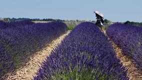 Lavender fields of Provence. France, drone view, Valensole Plateau stock footage