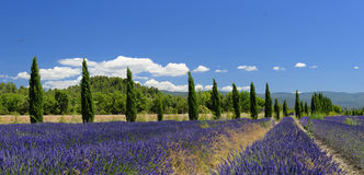 Lavender fields in Provence. Panoramic view of lavender fields and a row of trees in Provence, France Royalty Free Stock Photos