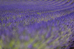 Lavender fields in Provence. Scenic view of blooming lavender fields in Provence, France Stock Images