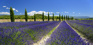 Lavender fields in Provence. Scenic view of lavender fields lined with trees in Provence, France Stock Photography