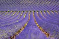 Lavender fields in Provence Royalty Free Stock Photo