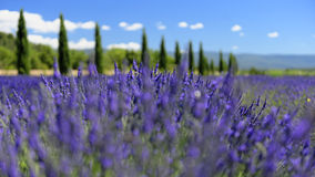 Lavender fields in Provence. Scenic view of lavender tree in Provence with flowers blooming in the foreground Royalty Free Stock Images